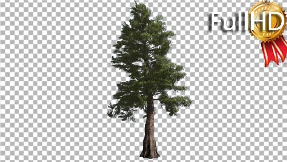 Thumbnail for Western Red Cedar Tall Coniferous Evergreen Tree