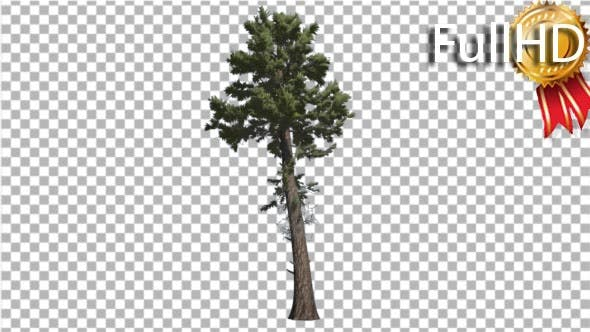 Thumbnail for Douglas Fir Tall Thin Tree Winter or Summer Tree