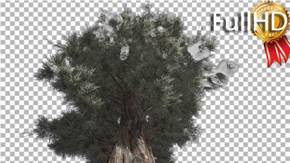Thumbnail for Eastern Red Cedar Snow on a Large Branches Strong