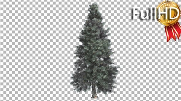 Cover Image for Blue Spruce Thin Tree in Winter or Summer