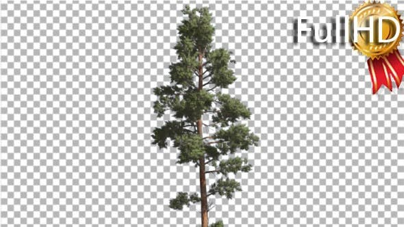 Cover Image for Scots Pine Blue-Green Leaves Coniferous Evergreen