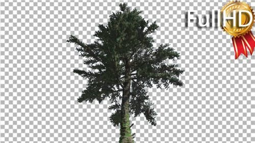 White Fir Down up Coniferous Evergreen Tree Thin