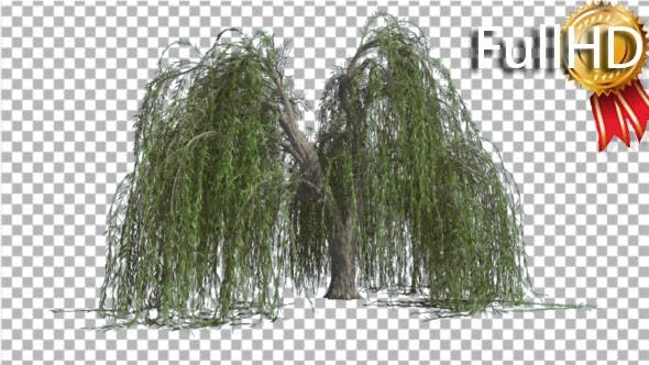 Thumbnail for Weeping Willow Long Hanging Branches Are Swaying