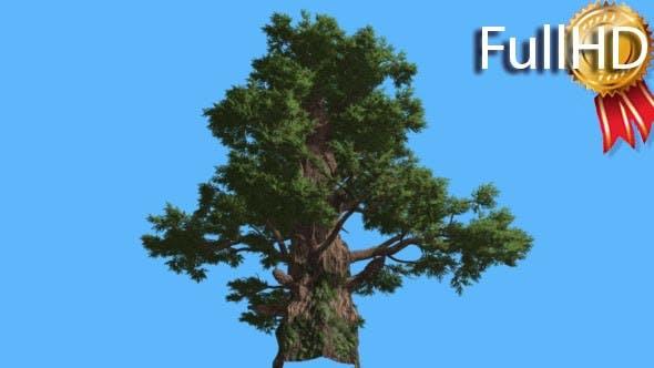Western Juniper Tall Old Tree Sun Rays Coniferous