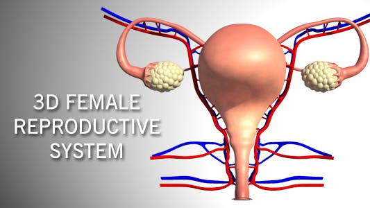 Thumbnail for 3D Female Reproductive System