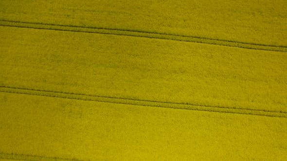 Thumbnail for Rapeseed Field Brassica Napus