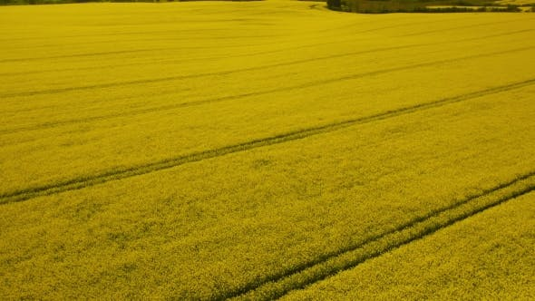 Thumbnail for Rural Landscape. Yellow Rapeseed Field