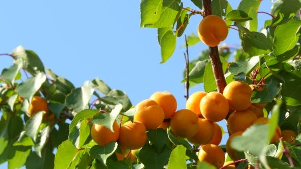 Thumbnail for Apricot Tree Branch