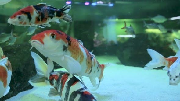 Thumbnail for Fish Swim In a Freshwater Aquarium.