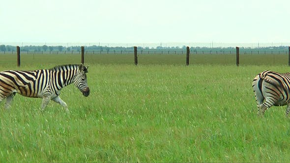 Four Zebras Pass in Front of the Camera