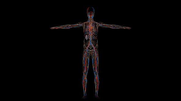 Circulatory System Human Body