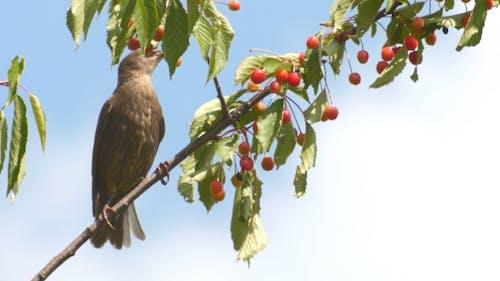 Common Blackbird On The Cherries
