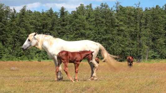 Thumbnail for Horse And Foal On Pasture 4