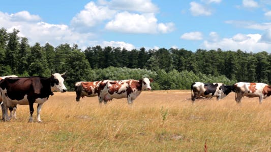 Thumbnail for Cows On Pasture 1