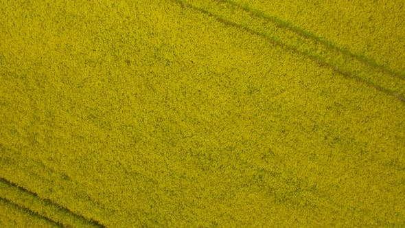 Thumbnail for Yellow Field Of Rape Plant