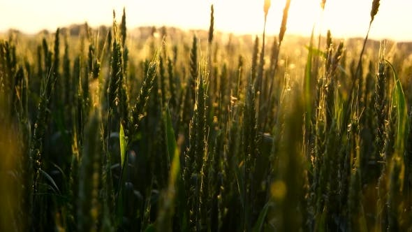 Thumbnail for Green Wheat In Sun Rays