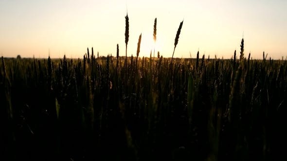 Thumbnail for Wheat Field At The Sunset