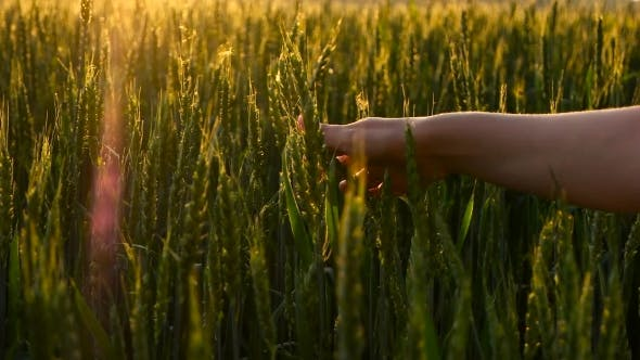 Thumbnail for Girl Stroking Green Wheat