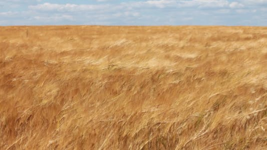 Thumbnail for Ears Of Wheat Swaying In The Wind