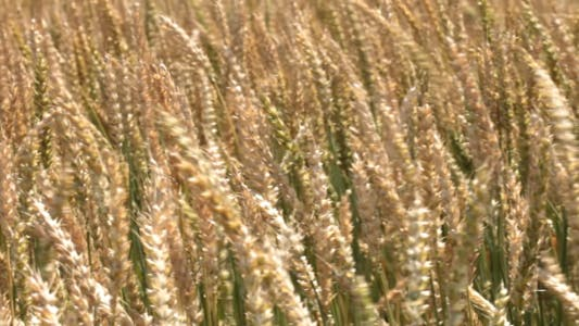 Thumbnail for Ears Of Wheat In The Wind