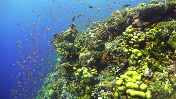 Thumbnail for Tropische Fische am lebendigen Korallenriff