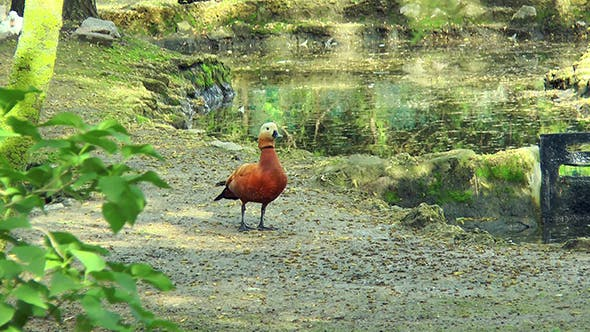 Thumbnail for Ruddy Shelduck is On the Waterfront