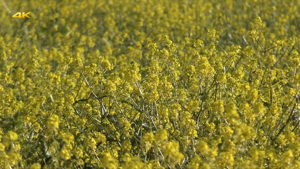 Thumbnail for Yellow Canola Field