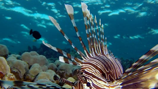 Thumbnail for Underwater Lionfish with Blue Water Background