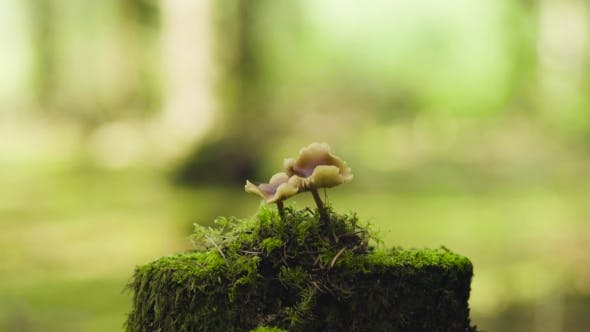 Thumbnail for Mushrooms In The Forest On The Stump