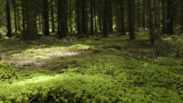 Cover Image for Primeval Forest With Mossed Ground