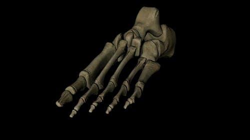 Menschliche Fußknochen