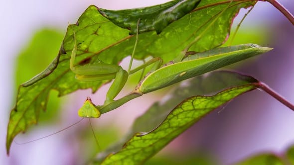 Thumbnail for Mantis Is Hiding Under a Leaf
