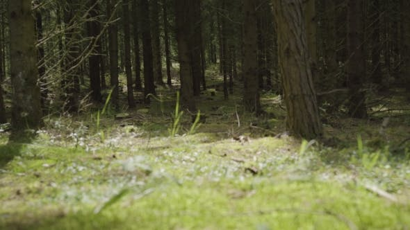 Thumbnail for Pine Forest With Sunlight