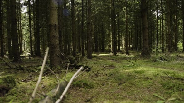 Thumbnail for Misty Coniferous Forest At Day