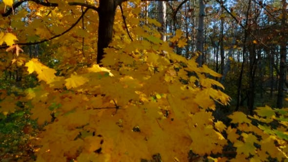 Yellow Leaves On Tree Branches Swaying On The Wind