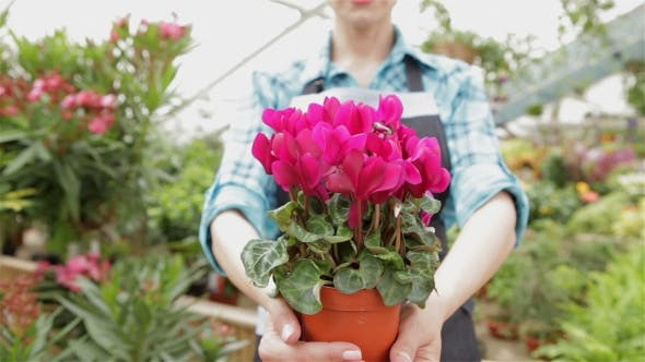 Thumbnail for Female Florist Holds The Flowerpot With Pink Flowers At The Garden Centre