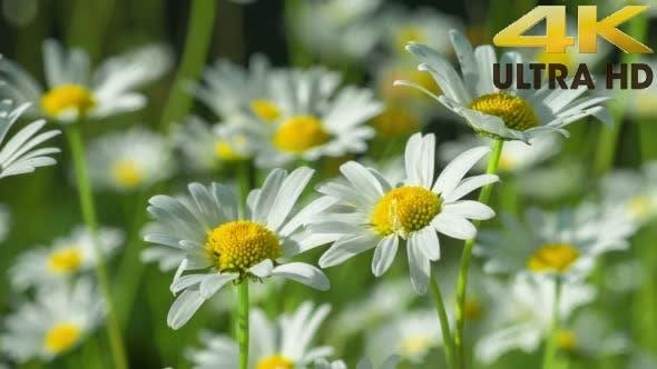 Camomilles jaunes blanches, suspendues au vent