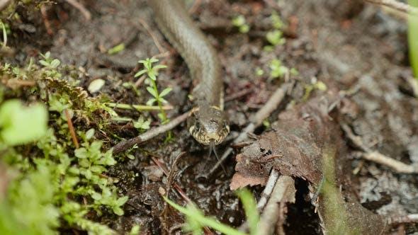 Danger Snake