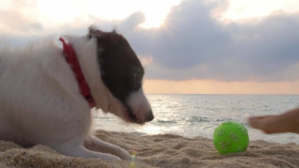 Thumbnail for Funny Dog Playing With a Ball In Sand On Beach. Funny Video.