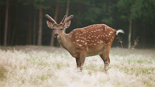 Spotted Deer Grazing