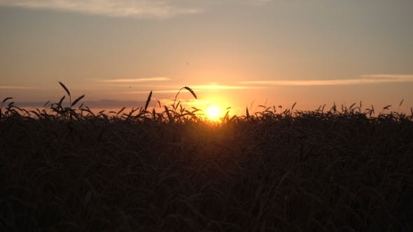 Thumbnail for Beautiful Sunset In Wheat Field