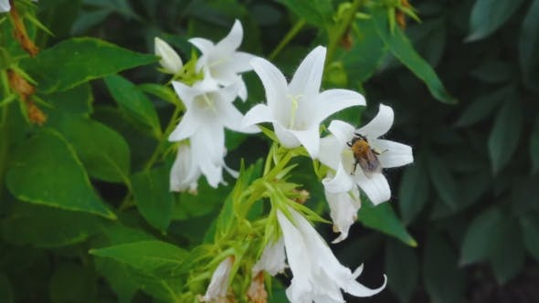 Cover Image for Bumblebee On Campanula Flower