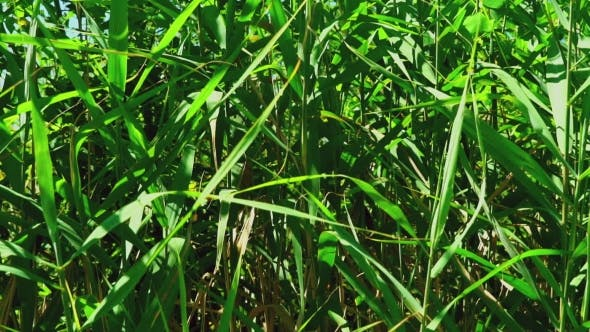 Thumbnail for Green Reed With Beautiful Leaves On The Open Air.