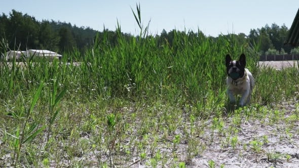 Thumbnail for Little White Dog With Black Spots On It Fur Runs On The Meadow.