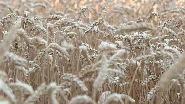 Thumbnail for Spikelets Of Wheat Swaying In The Wind
