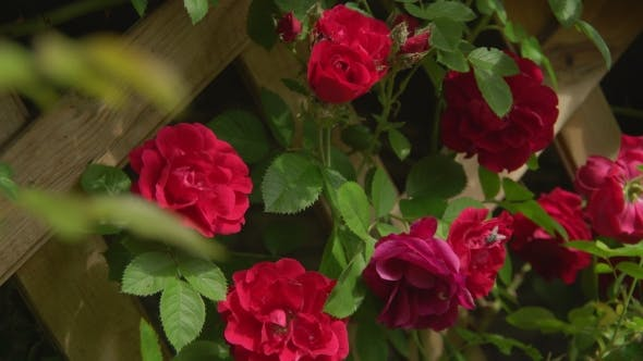 Thumbnail for Flowery Roses At The Open Air.