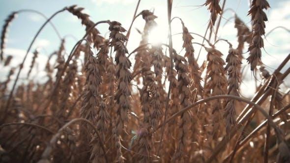 Thumbnail for Ripe Wheat Ears Field
