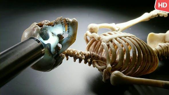Human Skeleton 0232