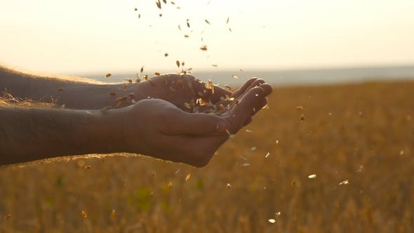 Thumbnail for Man Hands Pouring Ripe Wheat Golden Grains at Sunset