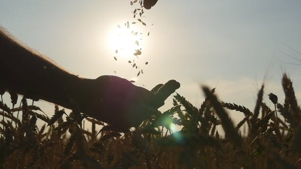 Cover Image for Man hands pouring ripe wheat golden grains at sunset. Wheat grain in a male hand. Slow motion
